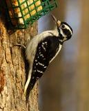 长毛的啄木鸟 免版税库存图片