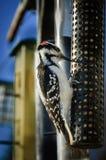 长毛的啄木鸟 库存图片