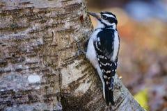 长毛的啄木鸟(picoides villosus)在树 库存照片