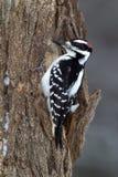 长毛的啄木鸟(Picoides villosus) 免版税库存图片