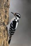 长毛的啄木鸟(Picoides villosus) 库存照片