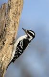 长毛的啄木鸟(Picoides villosus) 库存图片