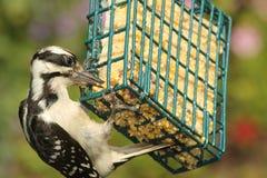 长毛的啄木鸟& x28; Picoides villosus& x29; 免版税库存照片