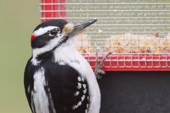长毛的啄木鸟Picoides villosus 免版税库存照片