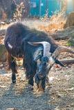长毛的山羊调查照相机 很多羊毛 免版税图库摄影