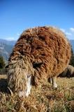 长毛的布朗绵羊 库存照片