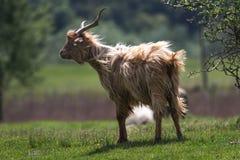 长毛的棕色山羊座 库存照片