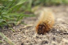 长毛的棕色毛虫 库存图片