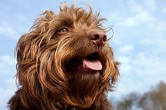 长毛的棕色狗画象,更小的混合品种 免版税库存照片