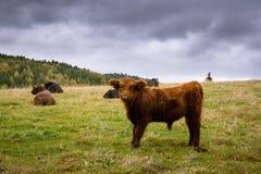 长毛的母牛在草甸 库存图片