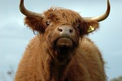 长毛的母牛 库存照片