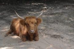 长毛的母牛 免版税库存图片