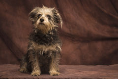 长毛的狗 库存照片