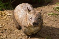 长毛的男引导了wombat 免版税库存图片