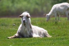 长毛的白色山羊 免版税库存照片
