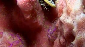 长毛的矮小龙虾Lauriea siagiani在桶海绵Lembeh海峡苏拉威西岛仅被找到 股票视频