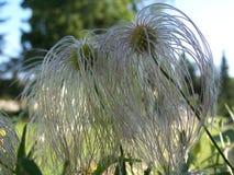 长毛的种子 库存照片