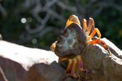 长毛的腿山螃蟹, Tachai海岛,泰国 免版税库存照片