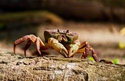 长毛的腿山螃蟹 库存照片