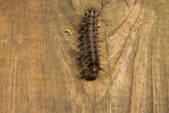 长毛的舞毒蛾毛虫著名作为Lymantria 图库摄影