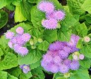 长毛的藿香蓟属Houstonianum绣花丝绒花 库存图片