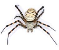 长毛的蜘蛛 免版税库存照片
