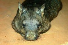 长毛的被引导的南部的wombat 库存图片
