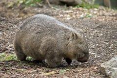 长毛的被引导的wombat 免版税图库摄影