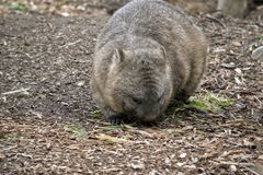 长毛的被引导的wombat 免版税库存图片