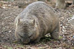 长毛的被引导的wombat 库存照片
