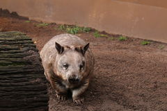 长毛的被引导的wombat 库存图片