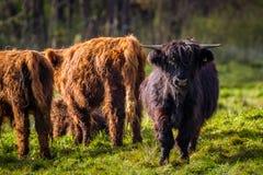 长毛的高地公牛 库存照片