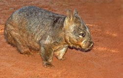 长毛的鼻子wombat 免版税库存照片