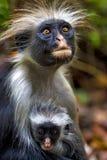 长毛的猴子和她的小狗在非洲桑给巴尔jozany森林里 免版税库存照片