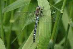 长毛的蜻蜓& x28; Brachytron pratense& x29; 基于芦苇 库存照片