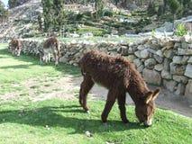 长毛的驴 免版税库存图片