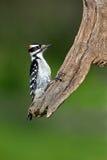 长毛的picoides villosus啄木鸟 免版税库存照片