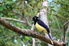 长毛绒有顶饰杰伊或Cyanocorax chrysops鸟在伊瓜苏瀑布国家公园,阿根廷森林里  免版税库存图片