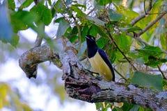 长毛绒有顶饰杰伊,Cyanocorax chrysops、黄色和黑人色的杰伊,伊瓜苏瀑布,巴西 库存照片