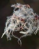 长毛wildplant与白色细丝 免版税库存图片