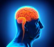 年长男性脑子解剖学 免版税库存照片