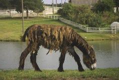 长的上漆的驴 免版税库存照片