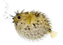 长的刺顿鱼脊椎 库存照片