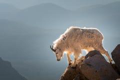 长的垫铁绵羊 免版税库存照片