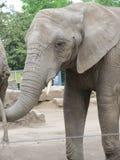 长的树干,大耳朵,象脚树-大象,最大的动物在世界上 库存图片