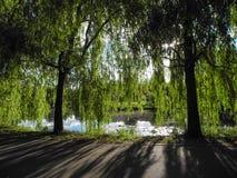 长的树杨柳分支在池塘上垂悬在公园 对比的庇荫树 免版税库存图片