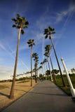 细长的棕榈在长滩,加利福尼亚 免版税库存照片