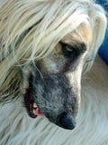长的狗毛 免版税库存图片
