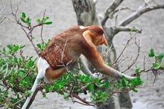 长的猴子引导了象鼻 免版税库存图片