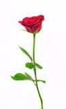 长的玫瑰色词根 库存图片